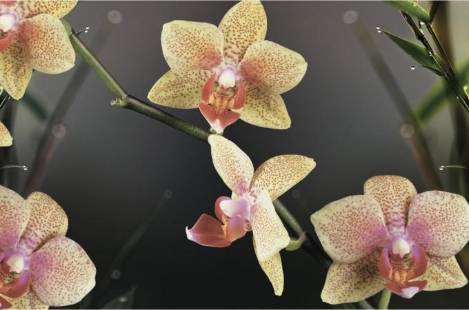Фартук для кухни из МДФ Орхидея   695х2070х4мм
